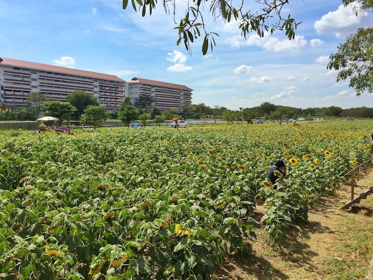 sunflower ladphrao bkk