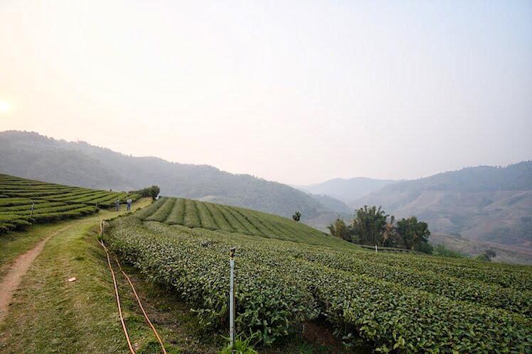 101 tea plantation